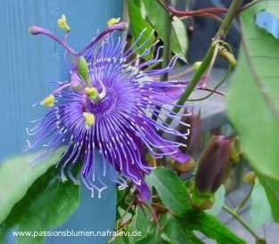 Passiflora 'Jelly Joker'