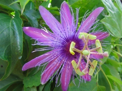 Passiflora 'Holly`