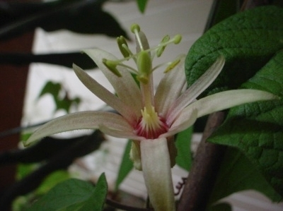 Passiflora Adularia