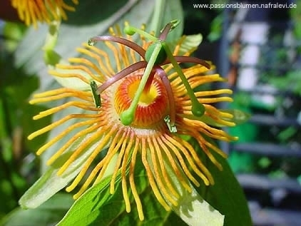 Passiflora Sunburst