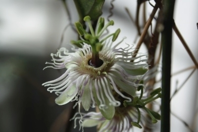 Passiflora cochinchinensis