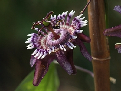 Passiflora glaucescens