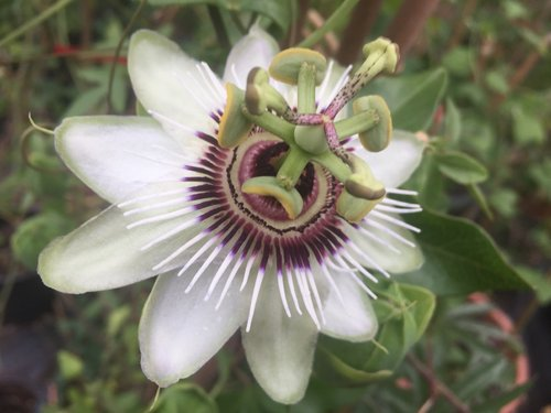 Passiflora Beauty of Hannover